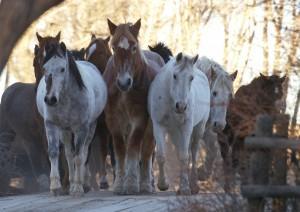 Het Vee Bar paarden zijn blij paarden