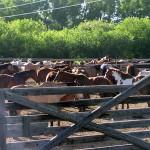 corral-full-of-horses_big