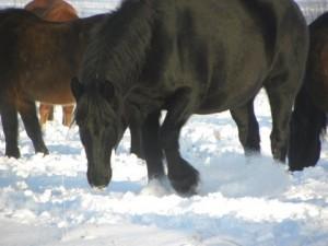 Goliath in snow