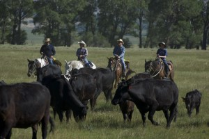 moving cattle is one of the popular guest ranch activities
