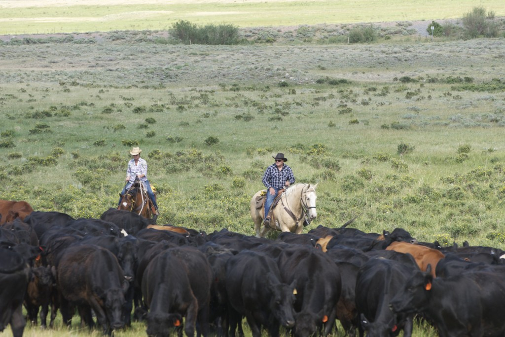 Cattle work experience at V Bar Dude Ranch