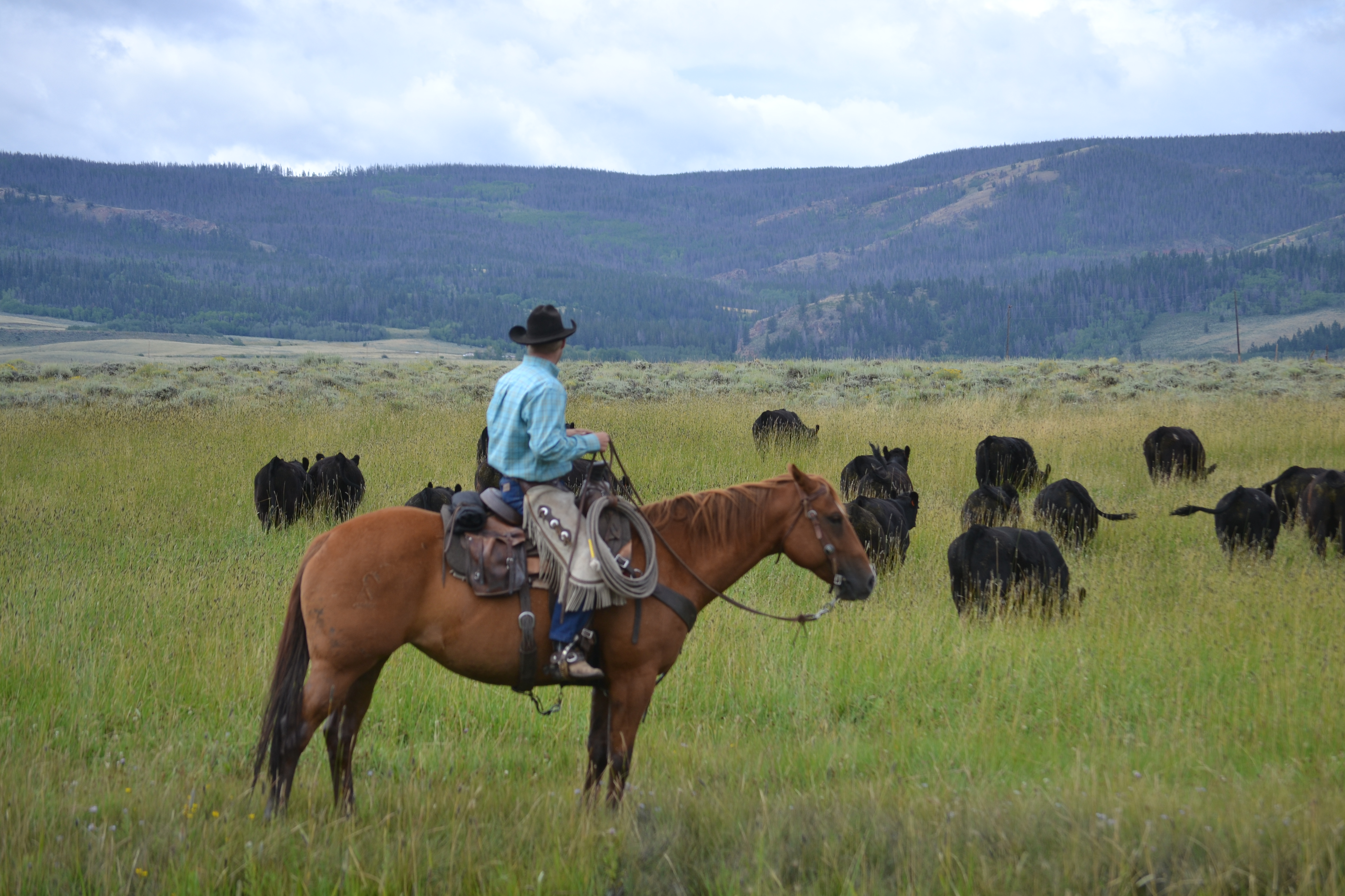 brent during cattle work